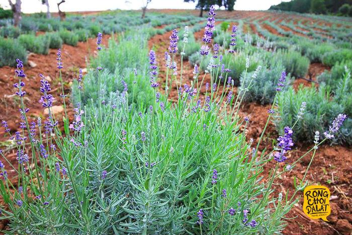 Sau hoa tam giác mạch, Mytour sẽ sớm bật mí cánh đồng oải hương sắp nở rộ ở Đà Lạt vào tháng 6