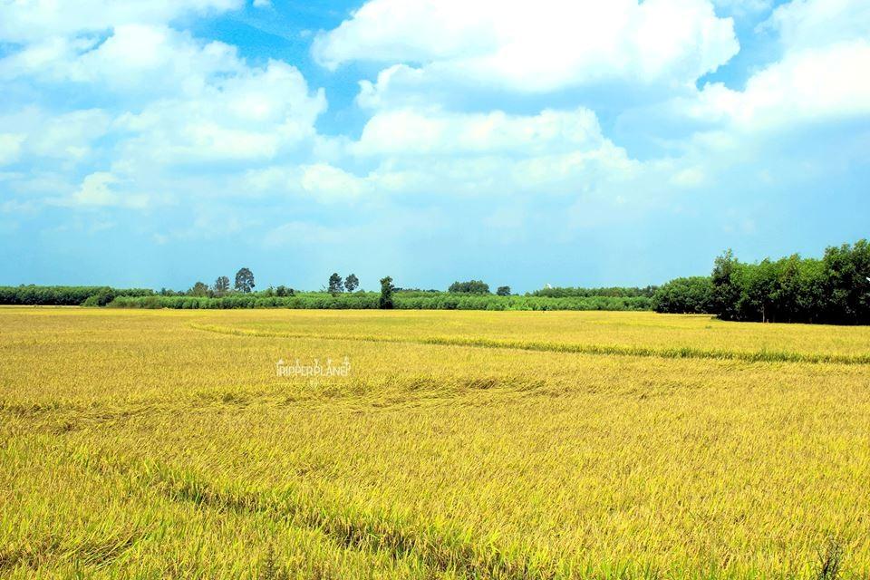 Cánh đồng lúa chín ở Phú Mỹ