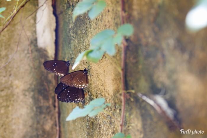 Dân gian gọi này là bướm ma với cánh màu nâu đen và những chấm trăng đặc trưng. Khi ra ánh nắng, chúng khoác lên màu áo xanh nhung rất đẹp.