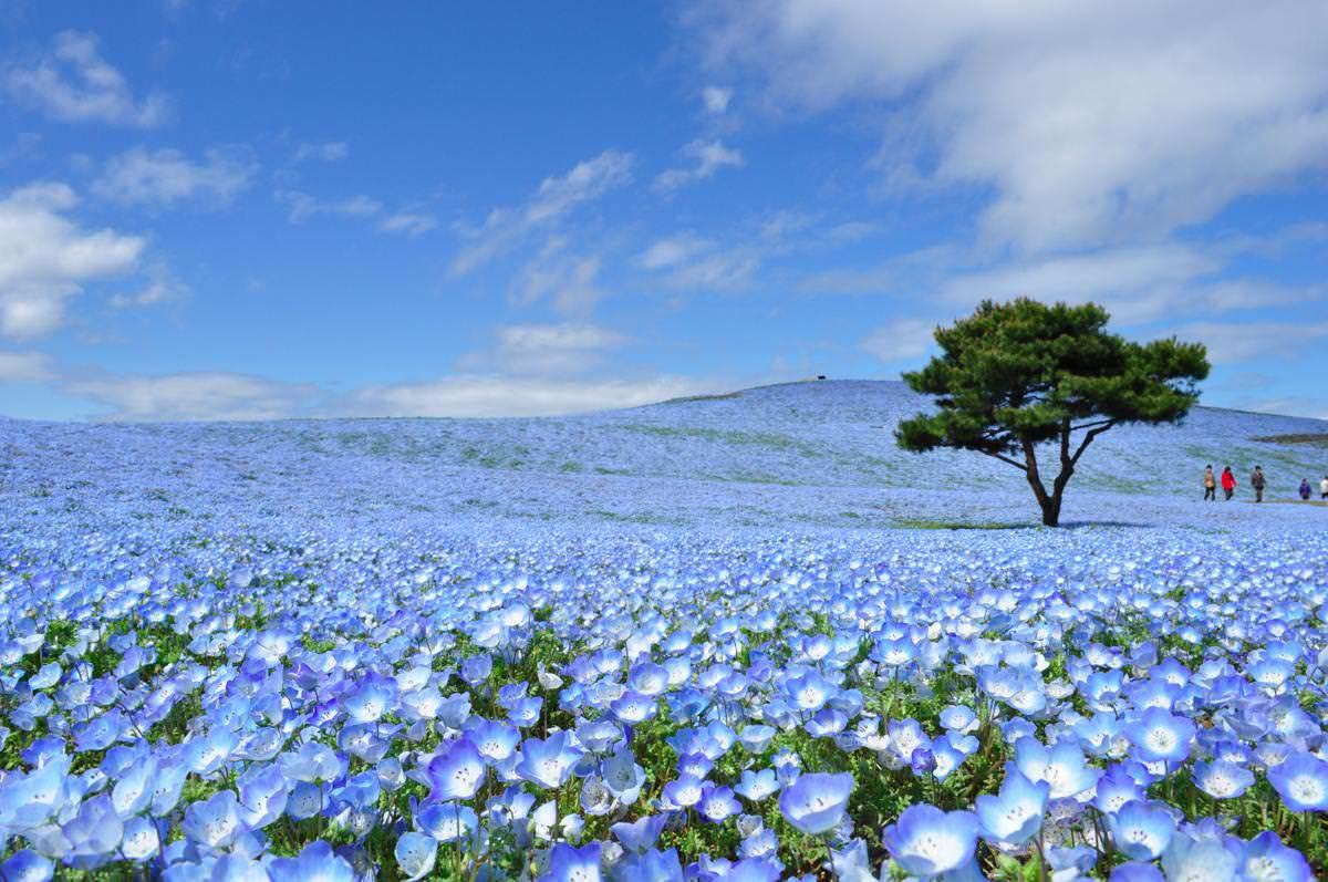 Nemophila hay còn gọi là hoa mắt xanh, là loài hoa biểu tượng của tỉnh Ibaraki, nằm về phía đông bắc thủ đô Tokyo.
