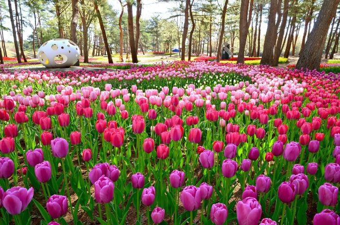 Cũng vào mùa xuân, tại khu vực rừng thông là thảm hoa hoa tulip đua nhau khoe nở.