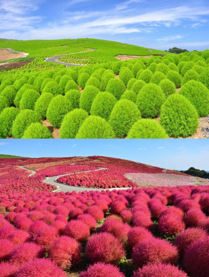 Vào tháng 6, chính tại khu đất trồng hoa mắt xanh, người ta lại bắt đầu trồng cây kochia.