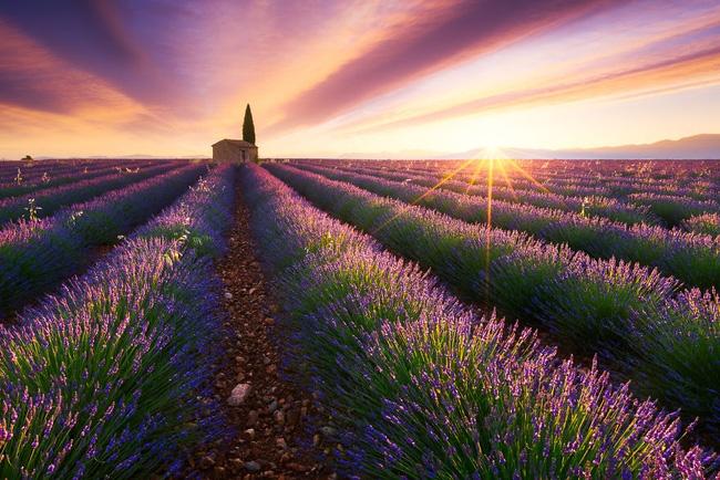 1. Ánh bình minh lấp lánh chiếu xuống cánh đồng hoa oải hương ở Provence, Pháp đem tới không khí rực rỡ nhưng vẫn thanh thoát.