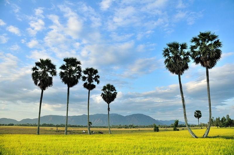 Bức tranh đồng lúa và thốt nốt mộc mạc yên bình của vùng thôn quê An Giang