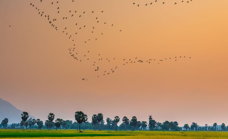 Những hàng thốt nốt trải dài giữa đồng lúa chín vàng