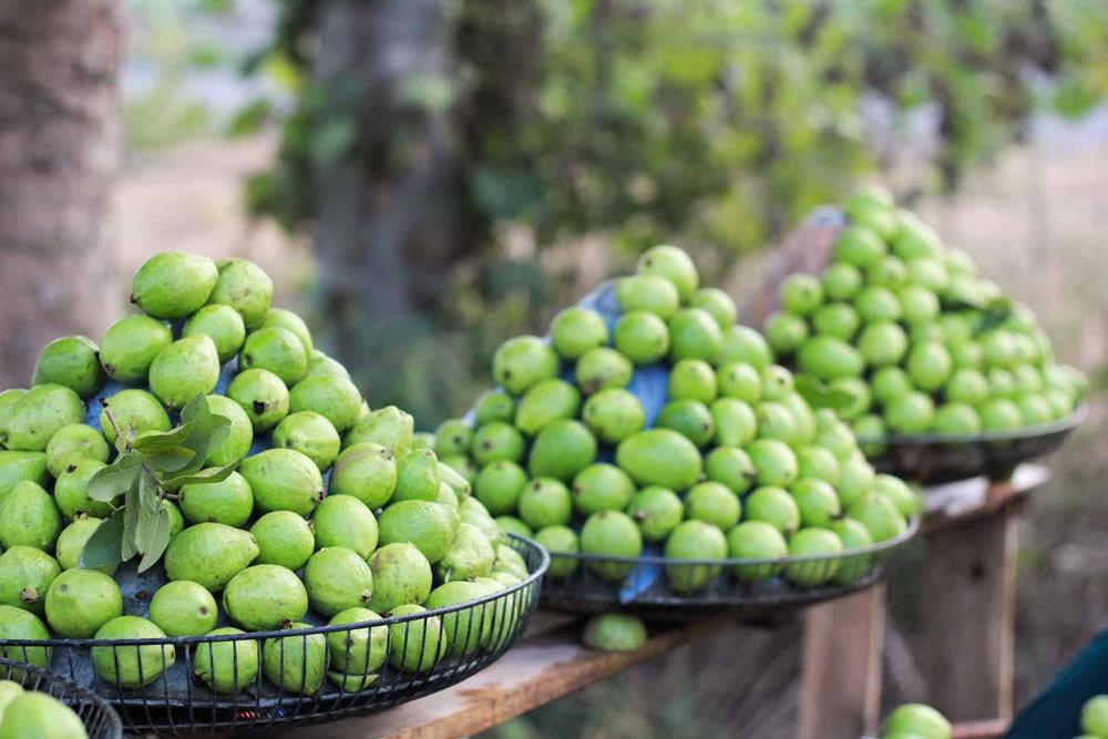 Thu về Hà Nội có mùi hương của ổi găng làng Đông Dư