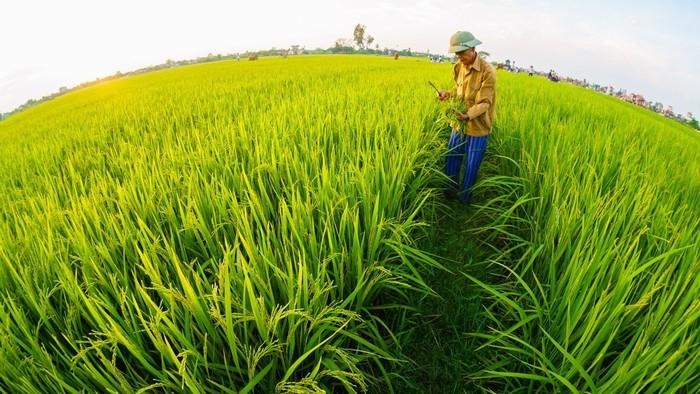 Người nông dân chăm sóc ruộng lúa thân thương