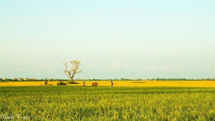Mùa lúa chín vàng đẹp mê hồn ở vùng quê Thái Bình
