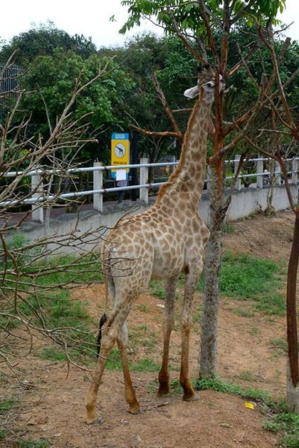 Hươu cao cổ trong Safari land Mường Thanh, Nghệ An