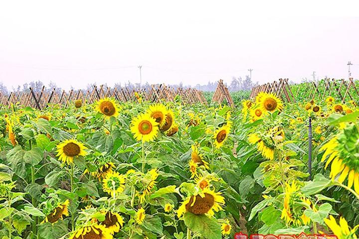 Vườn hoa hướng dương đẹp ngỡ ngàng ở Hà Tĩnh