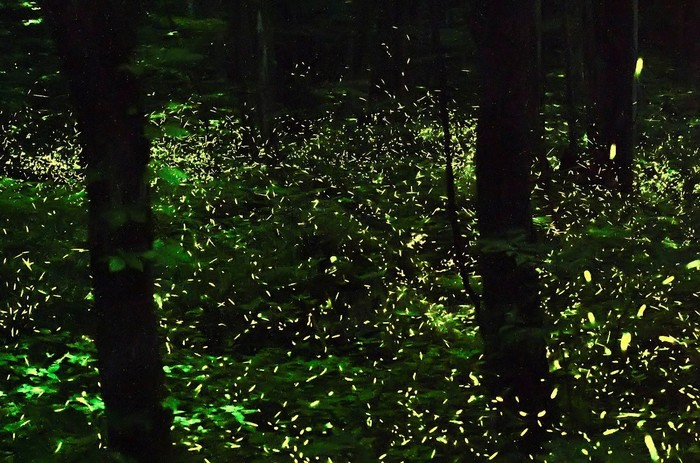 Những chú đom đóm khoe vẻ đẹp của mình trong đêm tối