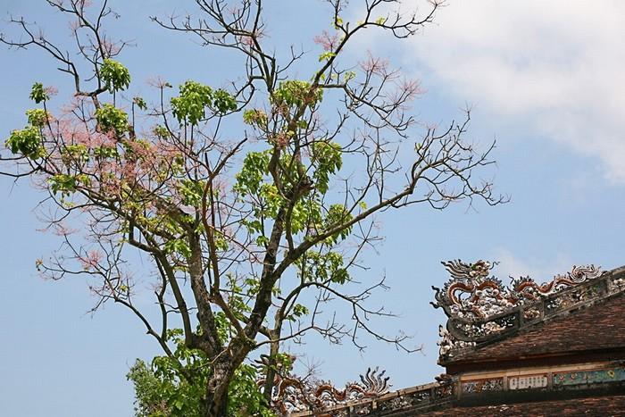 Phía sau điện Thái Hoà có một cây ngô đồng, khi nở hoa tô điểm thêm sắc hồng thắm cho mái điện với rồng chầu. Những cây ngô đồng trong Đại Nội khi ra hoa tạo nên một sắc thái mới lạ, rực rỡ và quyến rũ cho những đền đài cung điện.