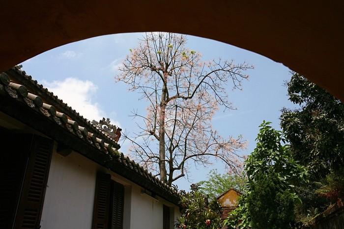 Hoa ngô đồng rực rỡ trên nền trời xanh, bên những công trình kiến trúc cổ xưa.