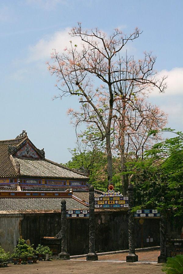 Những cây ngô đồng vươn cao, nhưng thanh thoát nên không lấn át các công trình mà đem lại màu sắc mới lạ đầy cuốn hút cho kiến trúc và khung cảnh thâm trầm của Đại Nội.
