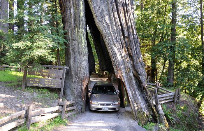 Rải rác xung quanh khu vực phía bắc California là một số cây củ tùng khổng lồ và cây gỗ đỏ lâu đời nhất trên thế giới.