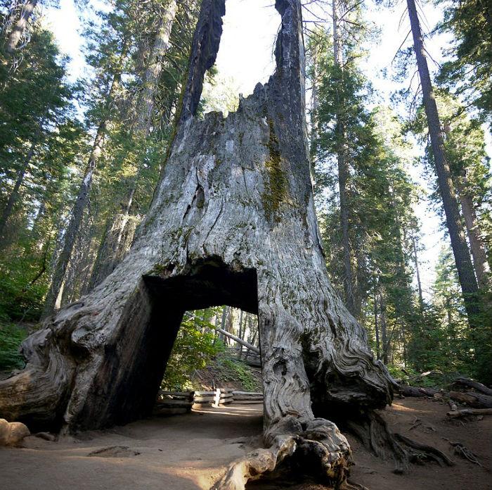 Những cây khổng lồ ở đây có thể cao đến hơn 90 m và 3.000 năm tuổi. Qua thời gian, các thân cây phát triển đủ rộng để người dân địa phương tạo một đường hầm lớn cho ô tô đi xuyên qua.