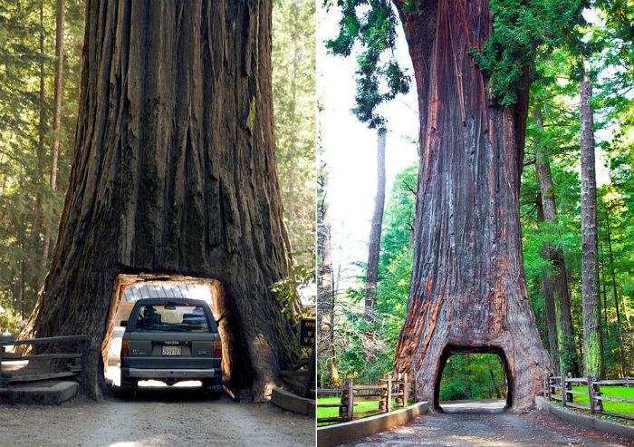 Đường hầm qua thân cây đầu tiên được tạo ra là ở Tuolumme Grove trong công viên quốc gia Yosemite vào năm 1875 nhằm thúc đẩy du lịch. TheoAmusing Planet, du khách phải trả tiền để đi qua đường hầm đặc biệt này. Nó được khắc tạc từ một thân cây củ tùng khổng lồ 2.500 tuổi đã bị sét đánh, sau đó bị đốn hạ.
