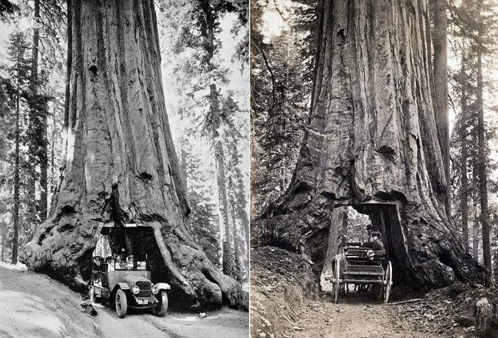 Xu hướng này được tiếp tục với ngày càng nhiều thân cây được làm rỗng. Du khách sẽ ngồi trong những chiếc xe cổ điển và đi qua các đường hầm có cấu trúc đáng kinh ngạc từ thân cây.