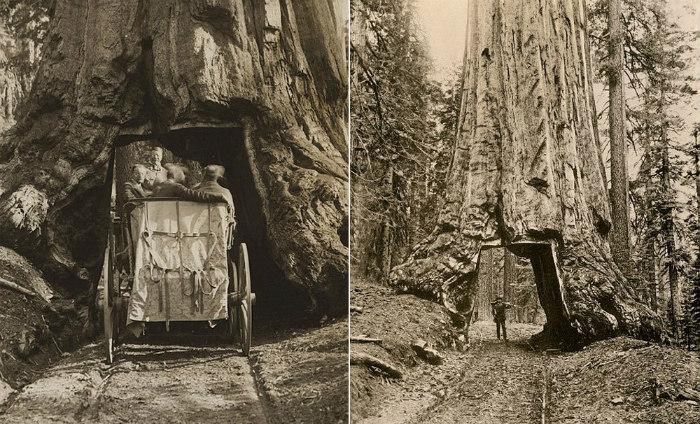 Những thân cây kỳ lạ ở California