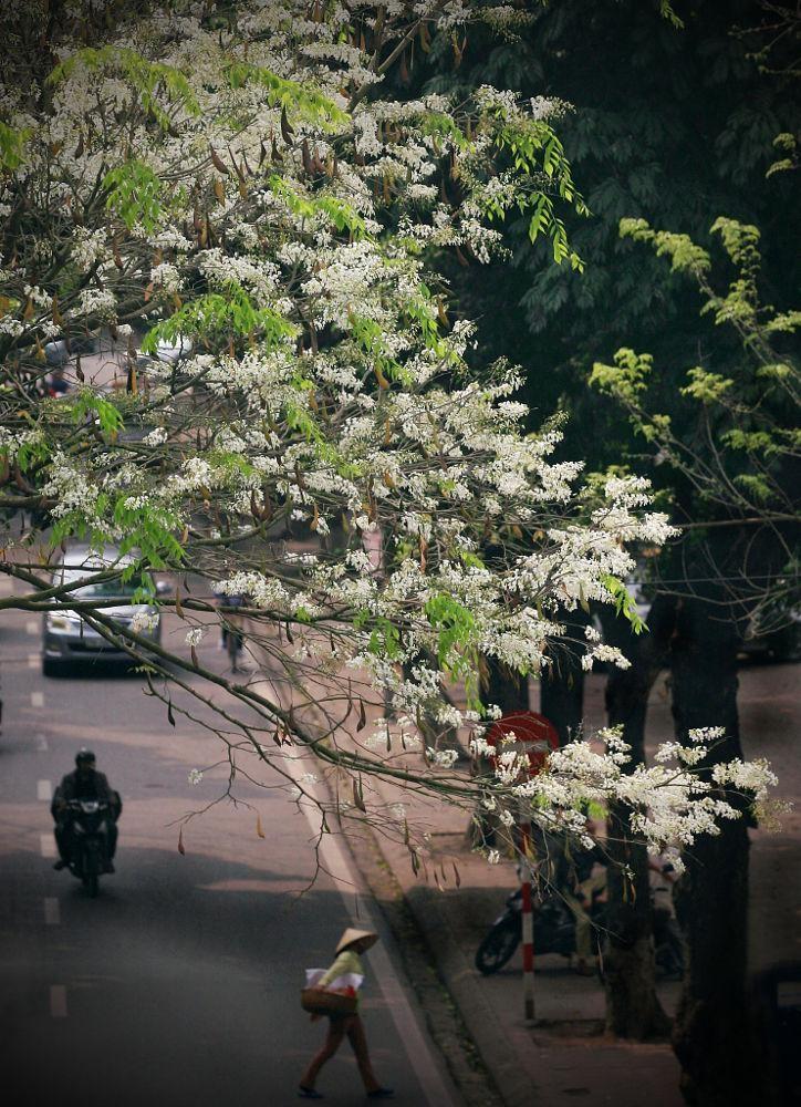 Hoa sưa – vẻ đẹp tháng ba Hà thành