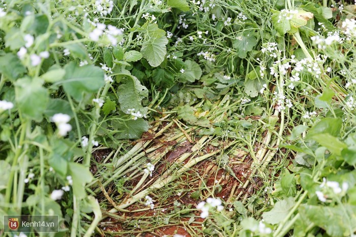 Để lại hậu quả nặng nề cho cánh đồng hoa đẹp