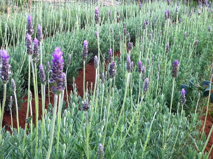 Vườn oải hương Đà Lạt với sắc tím lãng mạn