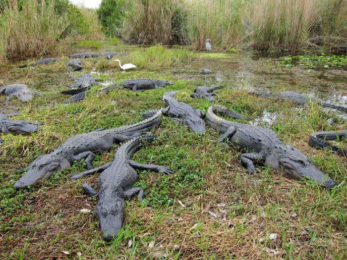 Thế nhưng Everglades được biết đến nhiều hơn như là nơi sinh sống của cá sấu Mỹ, loài bò sát bản địa duy nhất miền nam nước Mỹ, chủ yếu sinh sống ở vùng đất ngập nước.