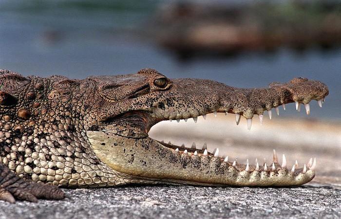 Mặc dù có vẻ ngoài đáng sợ, cá sấu Mỹ thu hút được một lượng lớn du khách đến xem, đứng quan sát tại những khu vực có rào ngăn, ví dụ như Anhinga Trail. Ngoài ra, Everglades cũng là nhà của hơn 275 loài cá khác, phần lớn sinh sống tại cửa sông hoặc biển.