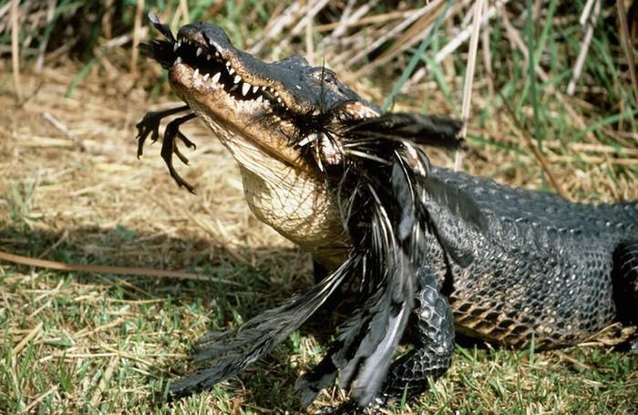 Cá sấu Mỹ đang ăn thịt con mồi trong công viên quốc gia.