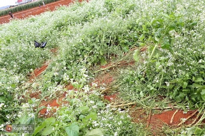 Ruộng hoa bị dẫm nát vì một số du khách vô ý thức