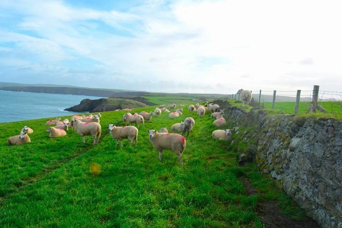 Bầy cừu bên những thảo nguyên xanh mướt