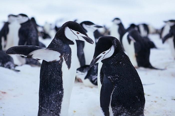 Và loài chim cánh cụt dễ thương trong băng tuyết
