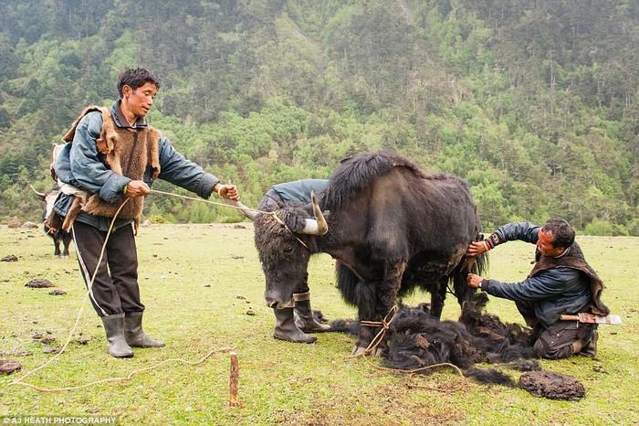 Chăm sóc bò yak là một công việc quan trọng của người Brokpa. Chỉ những con bò đực đã thiến và bò cái mới bị thu hoạch lông. Vào mùa hè, người Brokpa lại di cư vì họ thường di chuyển quanh vùng để tìm nơi tốt hơn cho việc chăn thả gia súc.