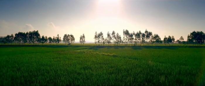 Với những cánh đồng lúa xanh miên man