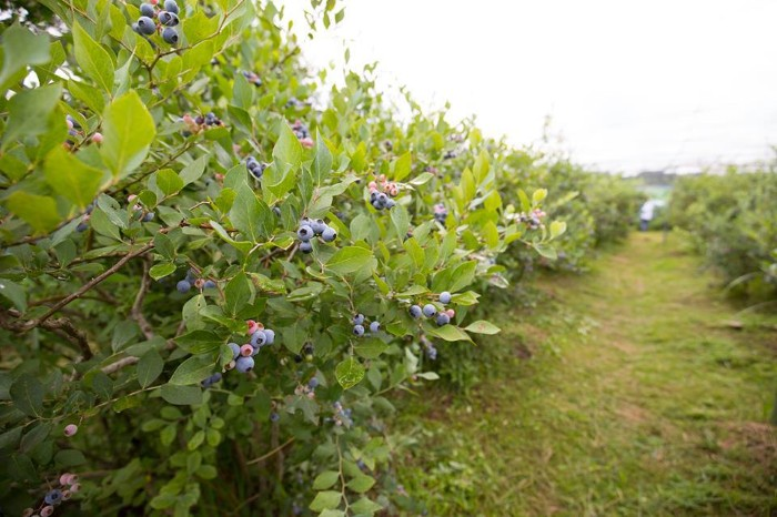 Ở Ibaraki, việt quất là một trong những loại quả nổi tiếng của vùng và trở thành điểm đến được nhiều du khách lựa chọn để trải nghiệm làm nông dân trên đất Nhật. Trong vườn, các cây được trồng thẳng hàng, cách nhau khoảng 1,5 m, chỉ cao hơn đầu người một chút nên rất dễ hái
