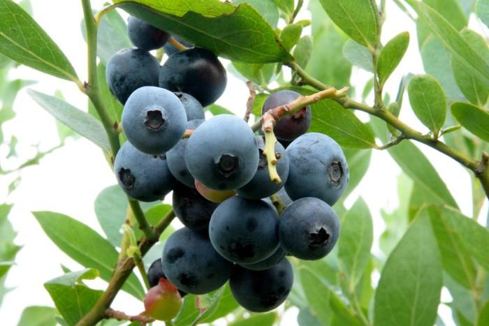 Mùa hái việt quất bắt đầu từ giữa tháng 6 đến giữa tháng 9, khi chín có màu đen tím như sim.