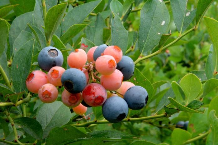 Việt quất non có màu trắng, khi bắt đầu chín chuyển sang màu hồng và tím đen là có thể thu hoạch.