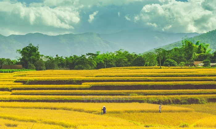 Bức tranh ngày mùa lấp lánh ánh vàng