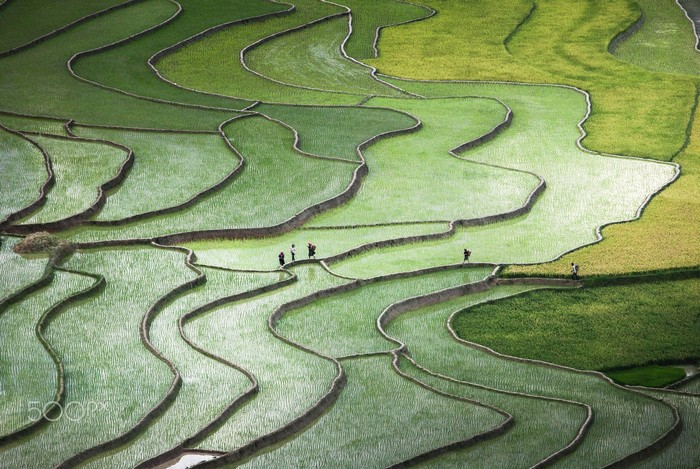 Những mầm mạ non vừa cấy ở xã Tú Lệ, huyện Mù Cang Chải