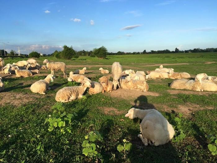 Đàn cừu nhởn nhơ nằm dài trên cỏ