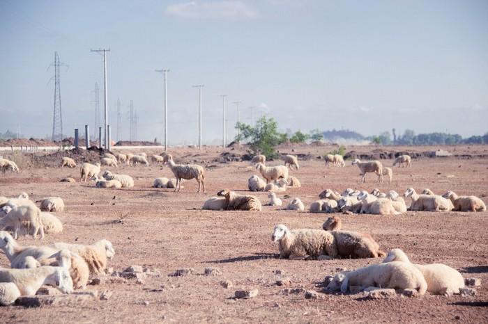 Những chú cừu đáng yêu, xinh xắn thu hút các bạn trẻ tìm đến