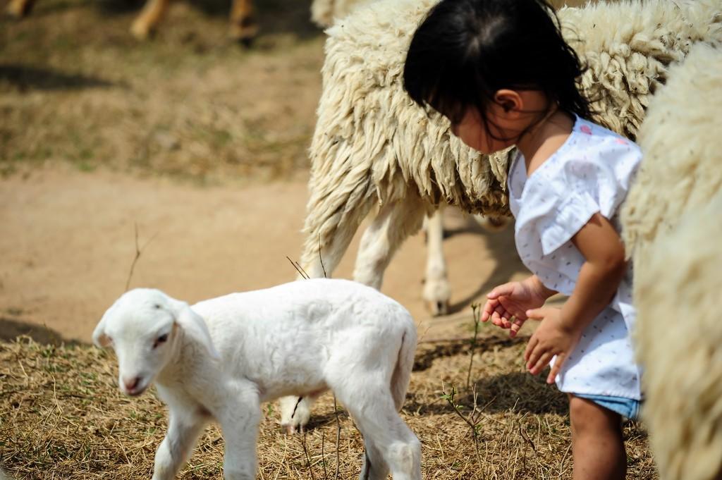 Em nhỏ thích thú chơi trò rượt đuổi nhau cùng chú cừu con