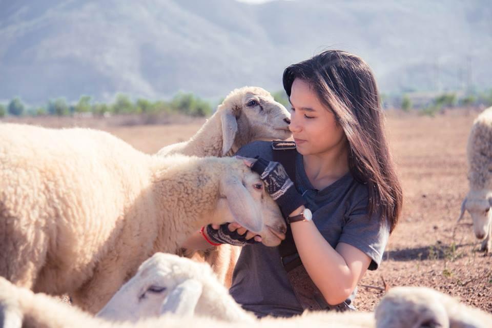 Những chú cừu thân thiện cứ quấn quýt bên bạn không nỡ rời