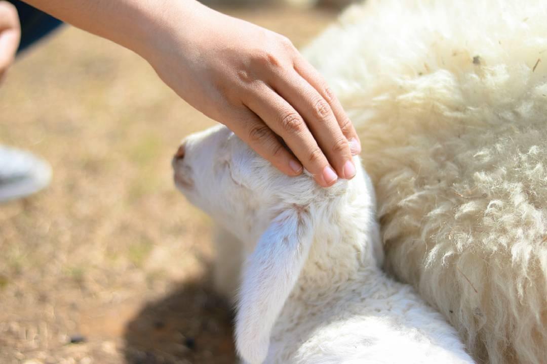 Chú cừu nhỏ xinh xắn, đáng yêu dường như ai cũng cưng nựng