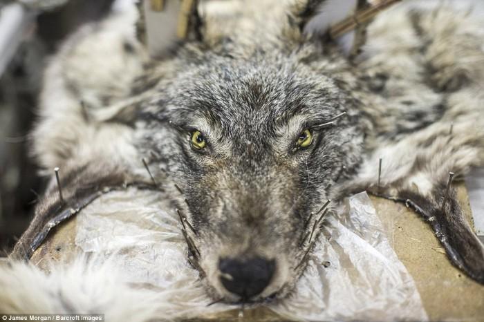 Một lớp da và lông chó sói tại xưởng Sakha Bult, Yakutsk, một thành phố vùng viễn đông nước Nga
