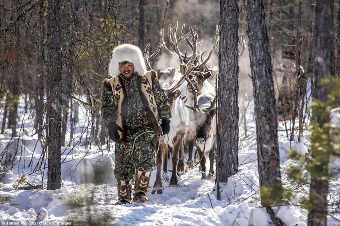 Một người đàn ông tộc Evenki dẫn đàn tuần lộc của mình vào rừng, chúng luôn là những con mồi béo bở của lũ chó sói. Ảnh chụp tại Khatystyr, Nga.