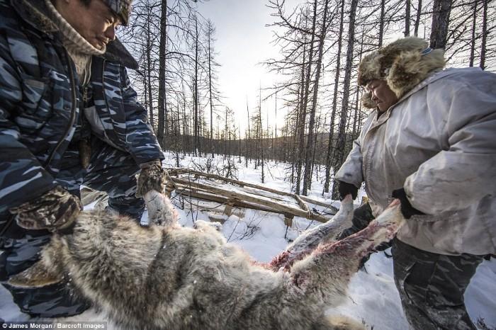 Maxsimovic cùng người đồng hành là Yegor Dyachkovsky đang khiêng một con chó sói vừa bị sập bẫy. Trung bình một con chó sói nâu có thể nặng tới 43 - 45 kg.