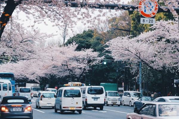 Mùa anh đào nở ở Nhật Bản
