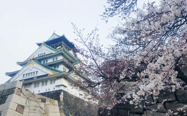 Anh đào bên tòa lâu đài Osaka