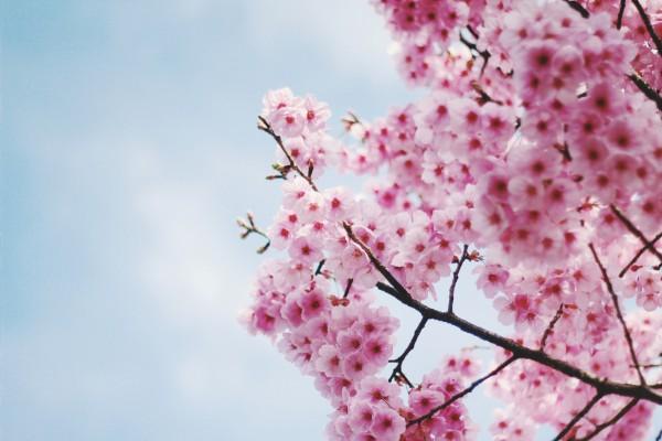 Sắc hoa biểu trưng cho mùa xuân mới